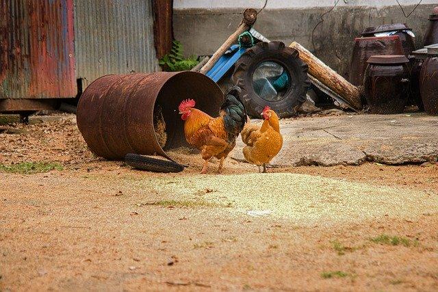 czym karmić kury